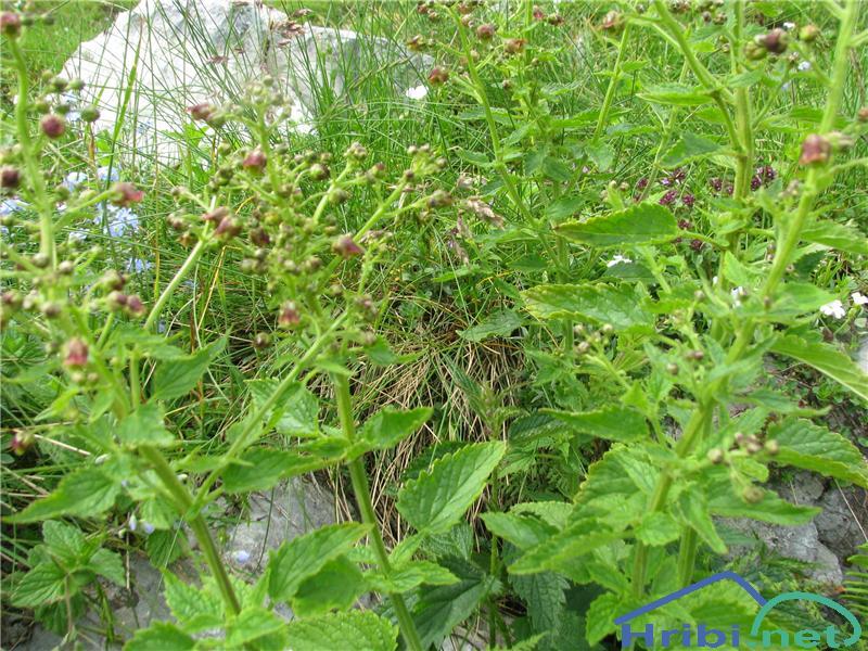 Scopolijeva črnobina (Scrophularia scopolii) - SlikaScopolijeva črnobina (Scrophularia scopolii)