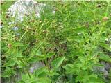 Scopolijeva črnobina (Scrophularia scopolii)