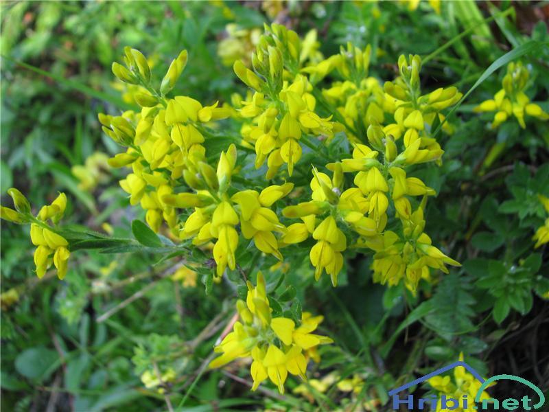 Nemška košeničica (Genista germanica) - PictureNemška košeničica (Genista germanica)