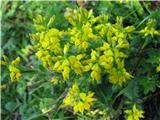 Nemška košeničica (Genista germanica)