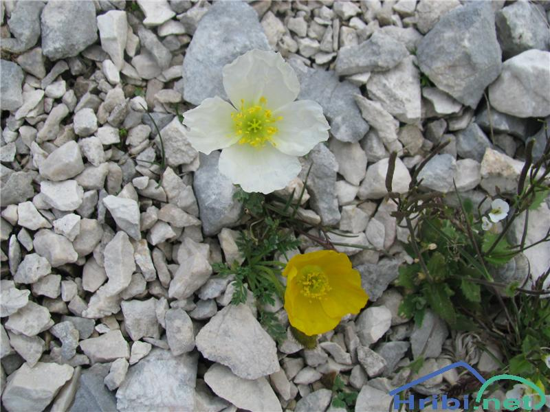 Petkovškov mak (Papaver alpinum subsp. victoris) - SlikaPetkovškov mak (Papaver alpinum subsp. victoris), na sliki rumen cvet spodaj.