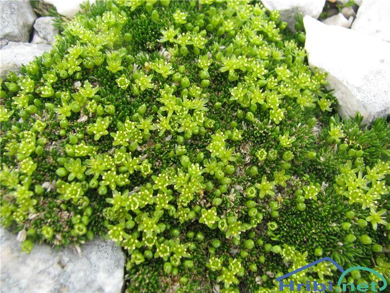 Homulična črvinka (Minuartia sedoides) - PictureHomulična črvinka (Minuartia sedoides)