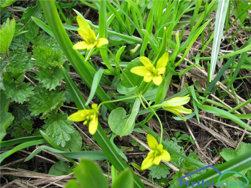 Alpska pasja čebulica (Gagea fragifera) - SlikaAlpska pasja čebulica (Gagea fragifera)