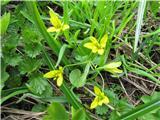 Alpska pasja čebulica (Gagea fragifera)
