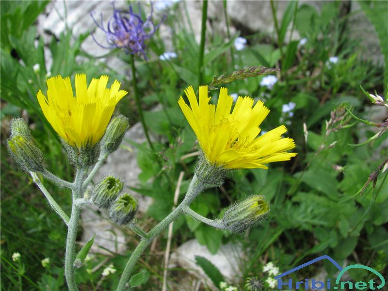 Grozdasta škržolica (Hieracium racemosum) - SlikaGrozdasta škržolica (Hieracium racemosum)
