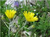 Grozdasta škržolica (Hieracium racemosum)