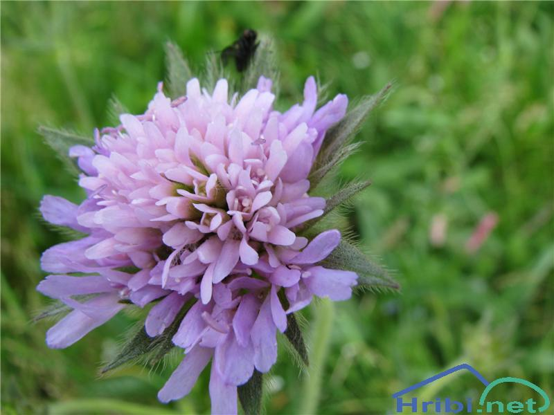 Dolgolistno Grabljišče (Knautia longifolia) - SlikaDolgolistno Grabljišče (Knautia longifolia)