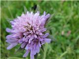 Knautia longifolia