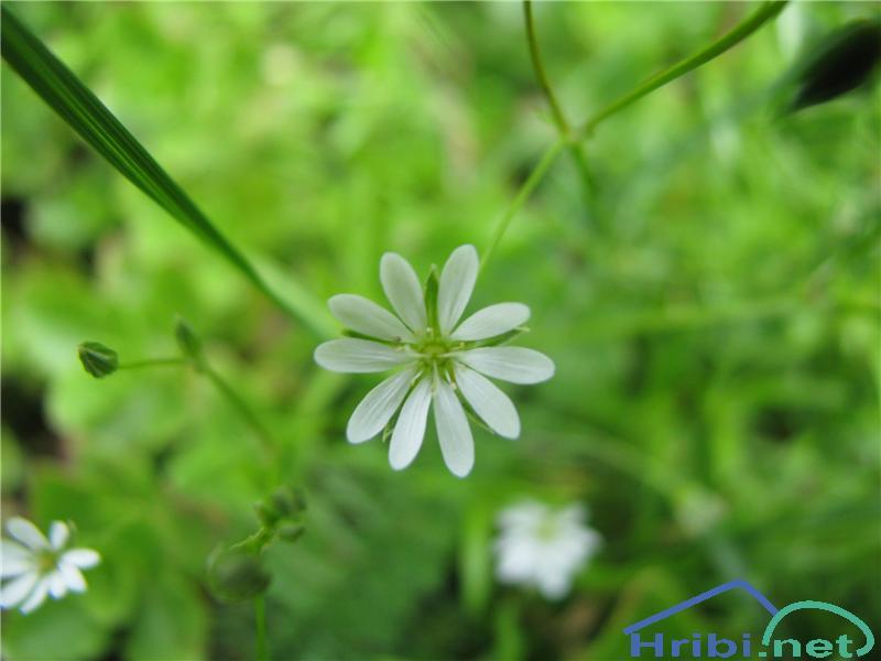 Travnata zvezdica (Stellaria graminea) - PictureTravnata zvezdica (Stellaria graminea)