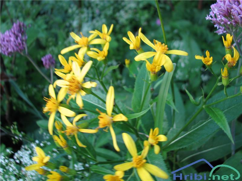 Fuchsov grint (Senecio fuchsii) - PictureFuchsov grint (Senecio fuchsii)