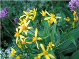 Fuksov grint (Senecio fuchsii)