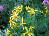 Fuchsov grint (Senecio fuchsii)