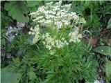 Pleurospermum austriacum