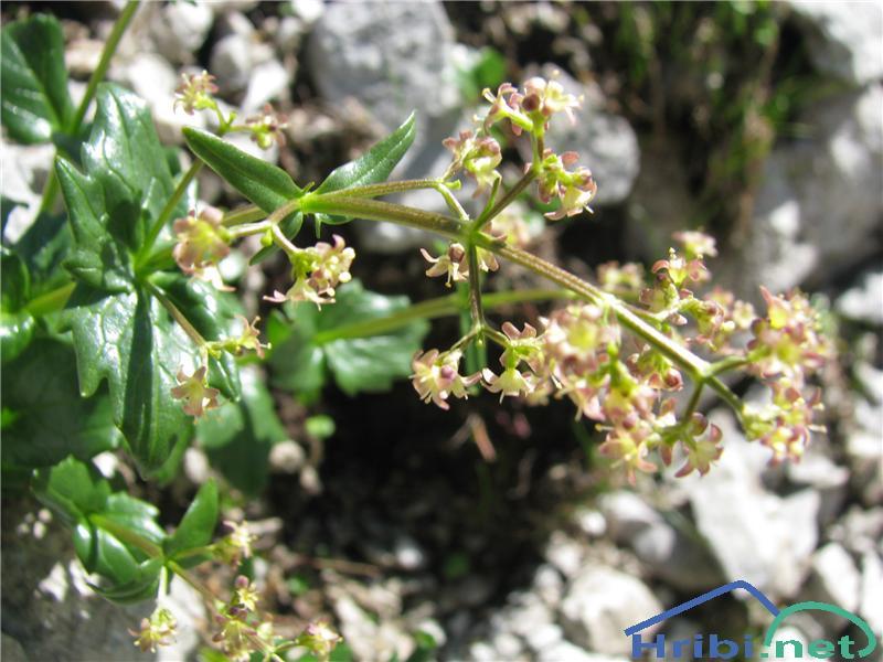 Podaljšana špajka (Valeriana elongata) - SlikaPodaljšana špajka (Valeriana elongata)