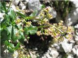 Podaljšana špajka (Valeriana elongata)