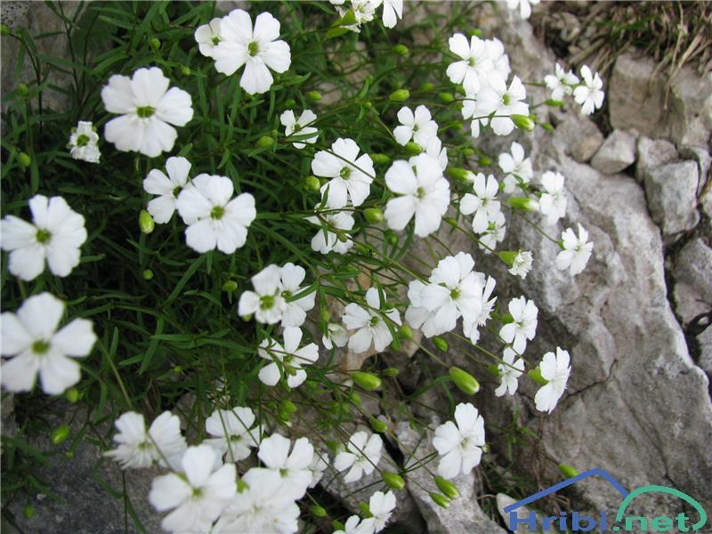 Nizka lepnica (Silene pusilla) - PictureNizka lepnica (Silene pusilla)