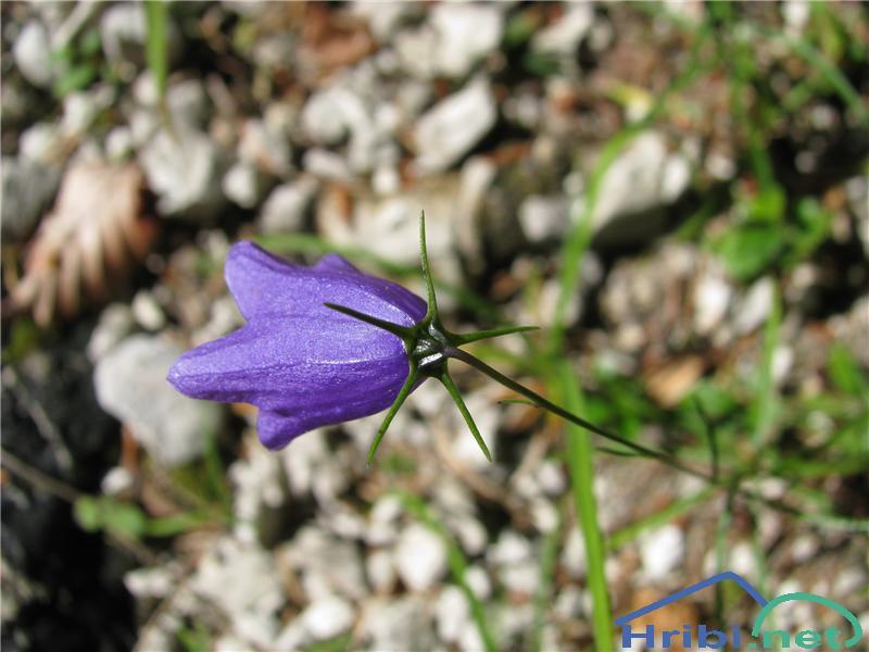 Izrodna zvončica (Campanula inconcessa) - PictureIzrodna zvončica (Campanula inconcessa)