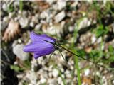 Izrodna zvončica (Campanula inconcessa)