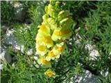 Navadna madronščica (Linaria vulgaris)