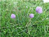 Gorski drobnjak (Allium scorodoprasum alpinum)