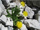 Alpski regrat (Taraxacum alpinum)
