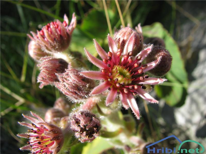 Gorski netresk (Sempervivum montanum) - SlikaGorski netresk (Sempervivum montanum)