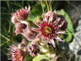 Gorski netresk (Sempervivum montanum)