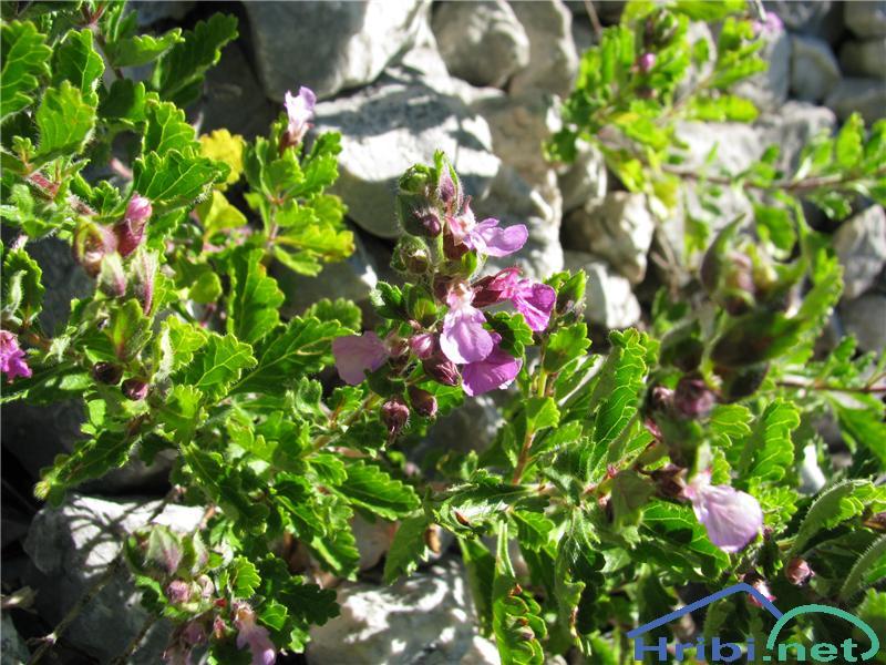 Navadni vrednik (Teucrium chamaedrys) - PictureNavadni vrednik (Teucrium chamaedrys)
