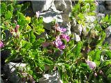 Navadni vrednik (Teucrium chamaedrys)