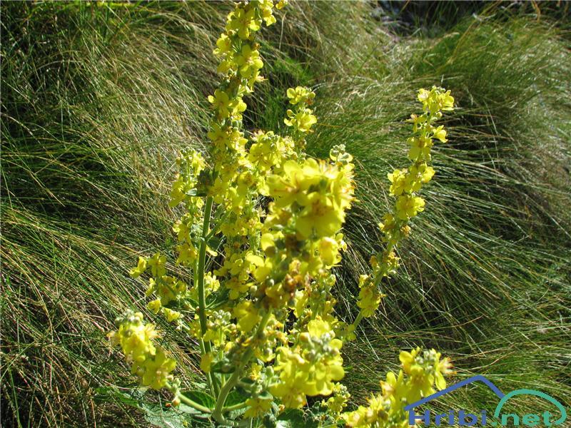 Naprašeni lučnik (Verbascum lychnitis) - SlikaNaprašeni lučnik (Verbascum lychnitis)