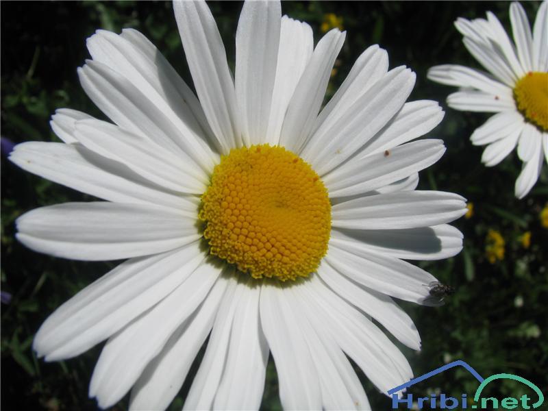 Alpska ivanjščica - SlikaAlpska ivanjščica