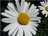 Alpska ivanjščica
