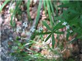 Galium sylvaticum