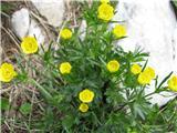 Koroška zlatica (Ranunculus carinthiacus)