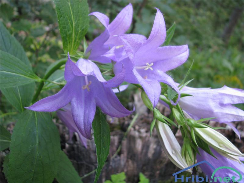 Velecvetna zvončica (Campanula medium) - PictureVelecvetna zvončica (Campanula medium)
