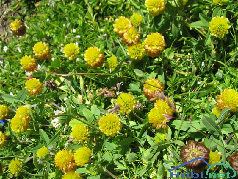 Kostanjevorjava detelja (Trifolium badium) - PictureKostanjevorjava detelja (Trifolium badium)