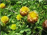 Kostanjevorjava detelja (Trifolium badium)