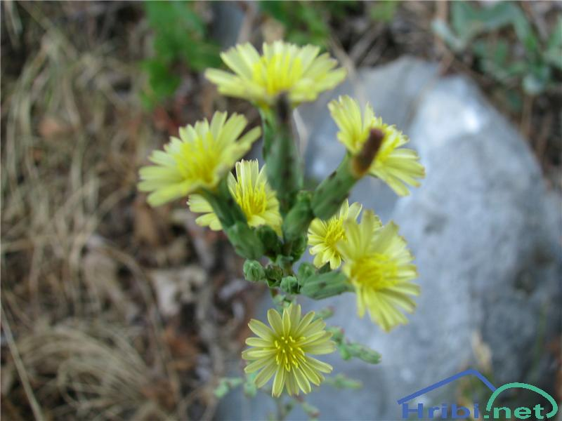 Navadna škrbinka (Sonchus oleraceus) - PictureNavadna škrbinka (Sonchus oleraceus)