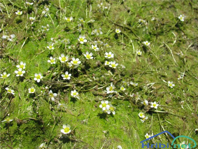 Lasastolistna vodna zlatica (Ranunculus trichophyllus) - SlikaLasastolistna vodna zlatica (Ranunculus trichophyllus)