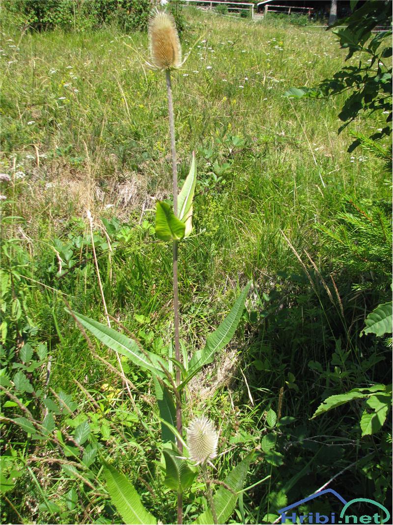 Divja ščetica (Dipsacus fullonum) - PictureDivja ščetica (Dipsacus fullonum)