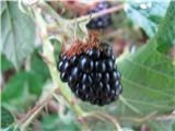 Navadna ali prava robida (Rubus fruticosus)