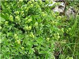 Alpska plahtica (Alchemilla alpina)