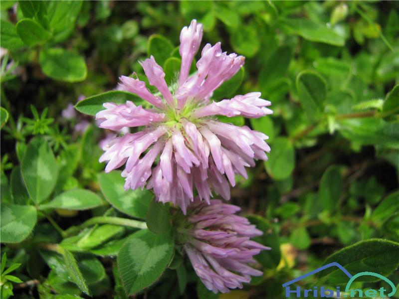 Črna detelja (Trifolium pratense) - PictureČrna detelja (Trifolium pratense)