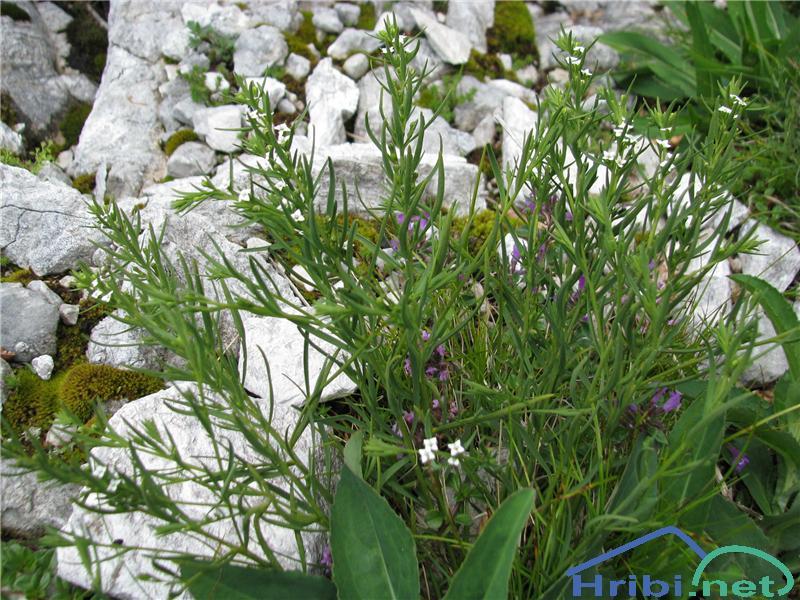 Pirenejska lanika (Thesium pyrenaicum ssp. pyrenaicum) - SlikaPirenejska lanika (Thesium pyrenaicum ssp. pyrenaicum)