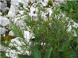 Thesium pyrenaicum ssp. pyrenaicum