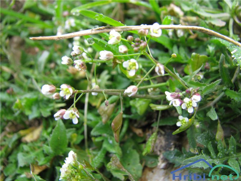 Prerasli mošnjak (Thlaspi perfoliatum) - PicturePrerasli mošnjak (Thlaspi perfoliatum)