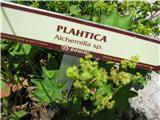 Plahtica (Alchemilla sp.)