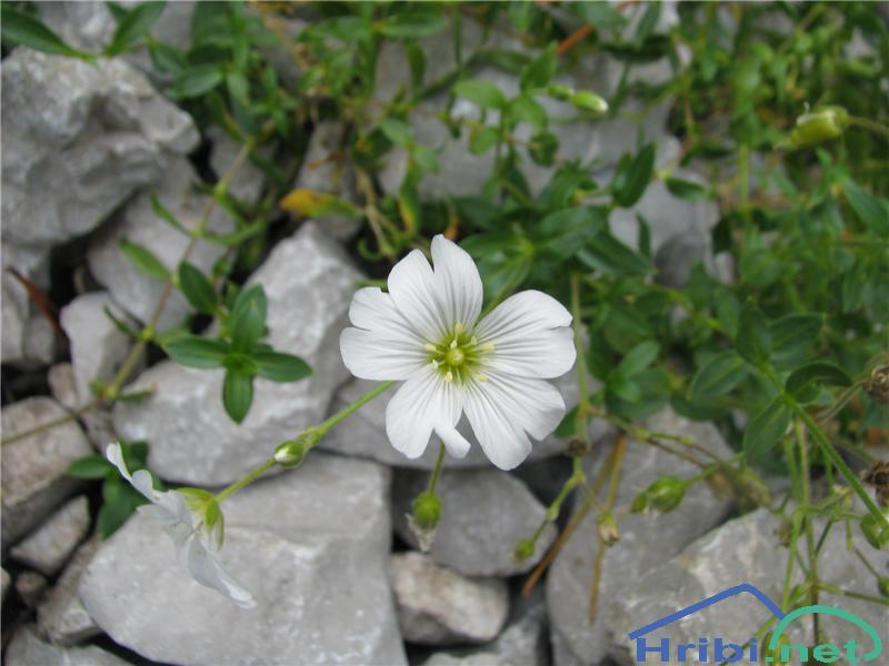 Širokolistna smiljka (Cerastium latifolium) - SlikaŠirokolistna smiljka (Cerastium latifolium)
