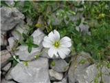 Širokolistna smiljka (Cerastium latifolium)