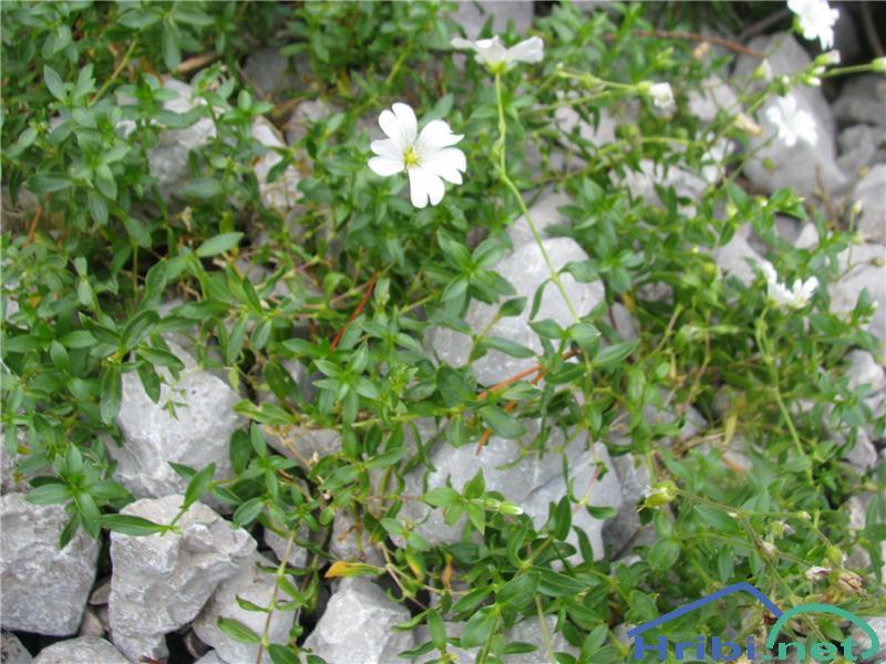 Širokolistna smiljka (Cerastium latifolium) - PictureŠirokolistna smiljka (Cerastium latifolium)